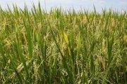 Chine: Découverte d'un gène pour augmenter les rendements de riz