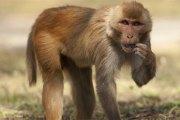 Un bébé retrouvé mort après avoir été kidnappé par un singe