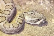 La tête d'un serpent décapité mord violemment un homme