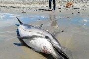 USA: récompense de 11.500 dollars pour retrouver le tueur d'une femelle dauphin enceinte