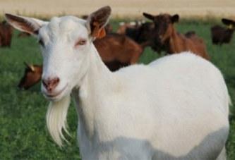 Huit hommes violent une chèvre enceinte jusqu'à la tuer