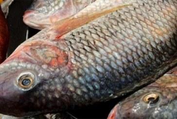 Ghana: Six mois d'embargo sur l'importation de tilapias