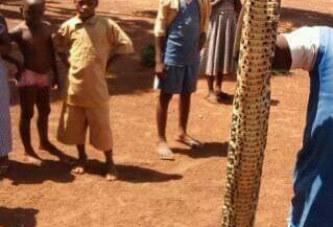 Côte d'Ivoire/ Une vipère tuée à Niakara après cinq ans de cohabitation avec un instituteur