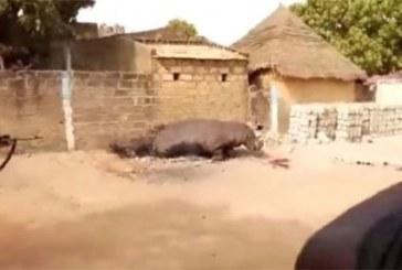 Sénégal: Polémique autour d'un hippopotame abattu par un français (Vidéo)
