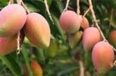 Burkina Faso : la production de mangue s'est chiffrée à 200 000 tonnes en 2018
