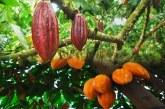 Gaoua: des agriculteurs essayent le cacaoyer