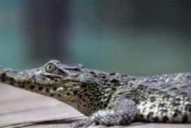 Le crocodile de Fidel Castro mord un homme à l'aquarium suédois