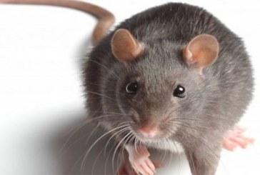 Ghana: Une grosse souris accusée d'être responsable des récentes coupures de courant électrique