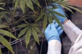 Covid-19 : « Le cannabis plus efficace que l'hydroxychloroquine », selon des chercheurs américains