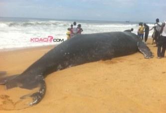 Côte d'Ivoire : Une baleine vient mourir à Grand Bassam
