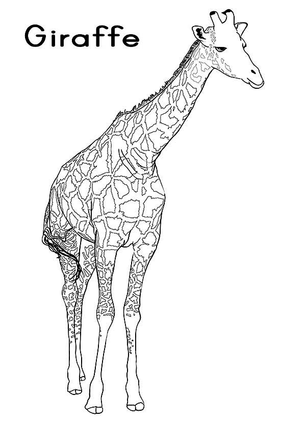 G Is For Giraffe Coloring Page Netart