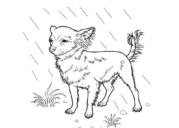 chihuahua dog standing in the rain coloring pages  netart