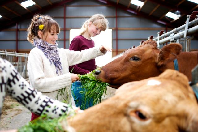Man kan bl.a. se på køer, når der i dag er åbent landbrug over hele landet. PRfoto.