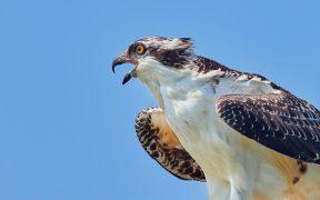 Osprey bird dies after flying from Finland to Kenya