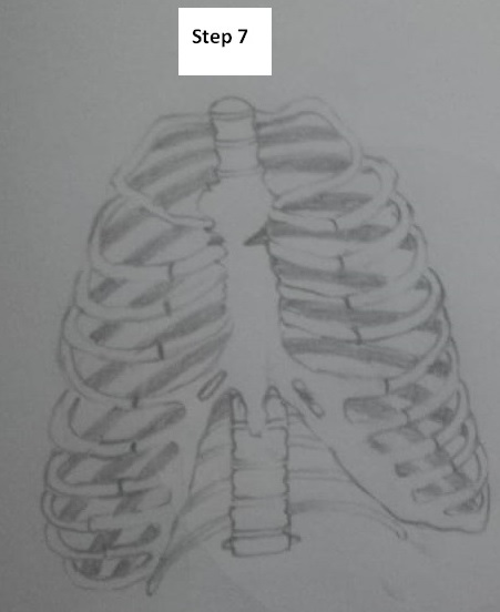 Rib Cage Drawing Simple : drawing, simple, Steps