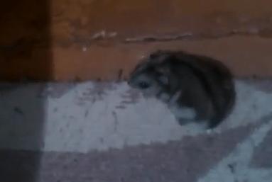 hamsterbutter