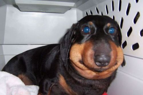 fat-face-dog