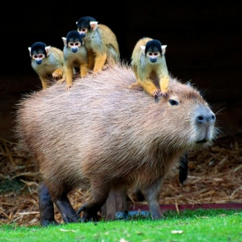 l-Capybara-with-tiny-monkeys-riding-on-its-back