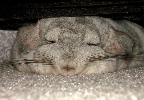 sleeping-chinchilla