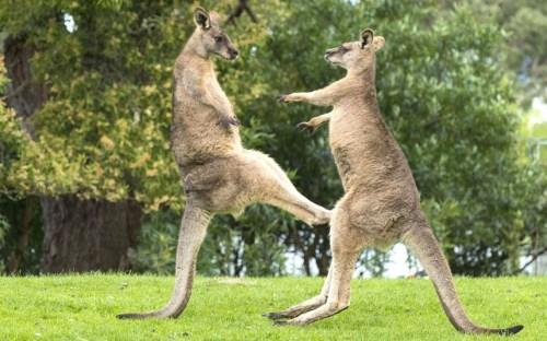 kangaroo1 (5)
