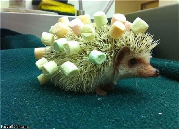 funny-hedgehog