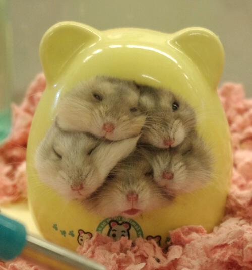 hamster_cute (10)
