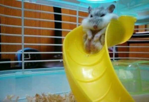 hamster_cute (19)