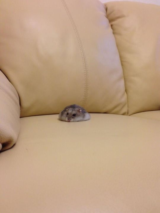 hamster_cute (7)