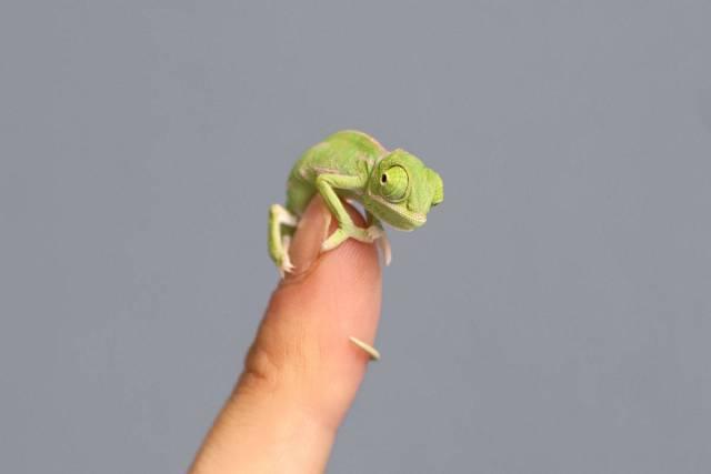 chameleonBABY (1)