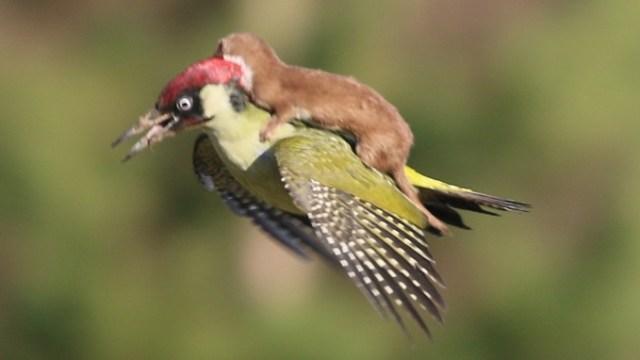 woodpecker_itati (2)