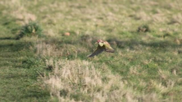 woodpecker_itati (4)