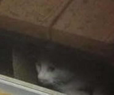 tanuki_cat3