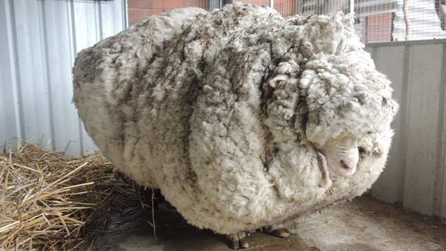 wooly-sheep