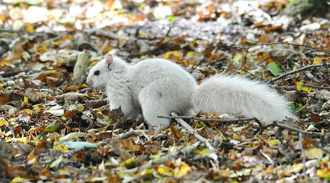 1027white_squirrel5