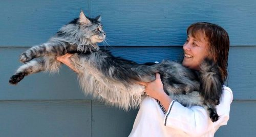 1129maine_coon11