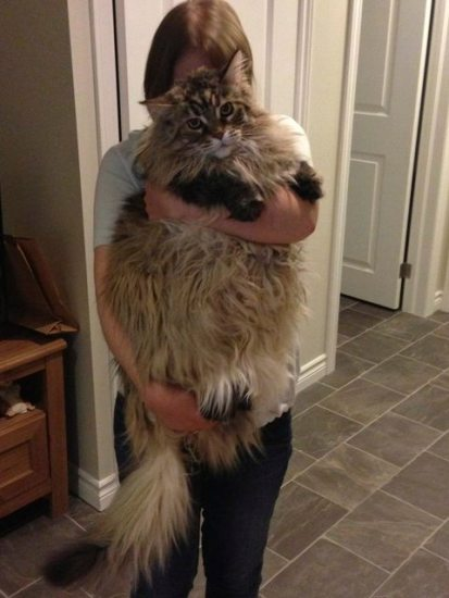 1129maine_coon13