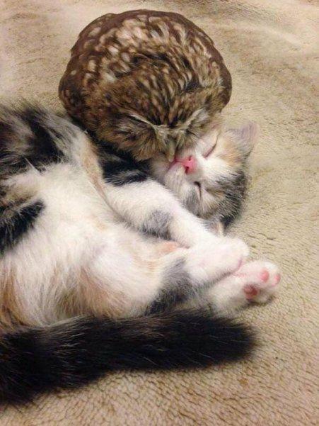 cat_owl1
