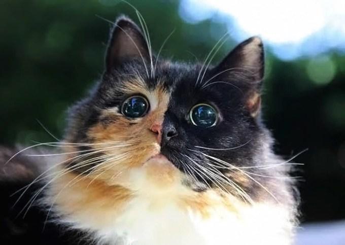 blind-cat-chimera-calico-jasmine-sandra-coudray-1