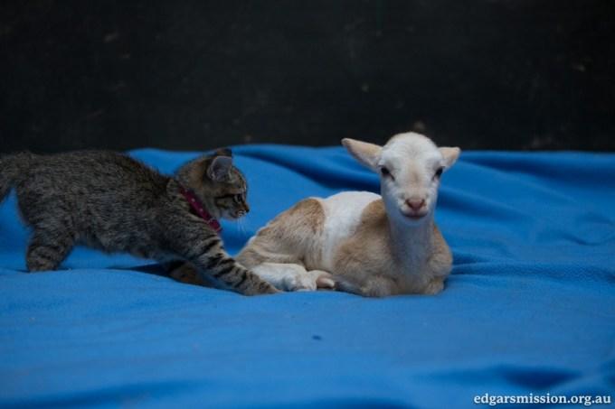lamb_kitten9