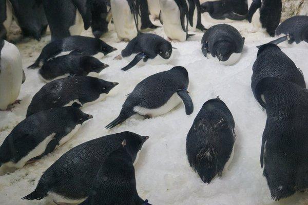 penguin_osushi