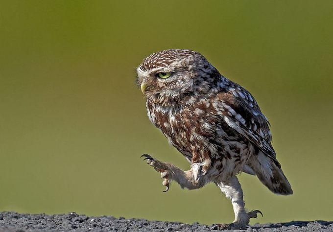 walkingowl (4)