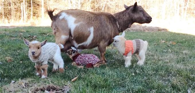goat_sweater5
