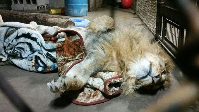 lion_mohu5