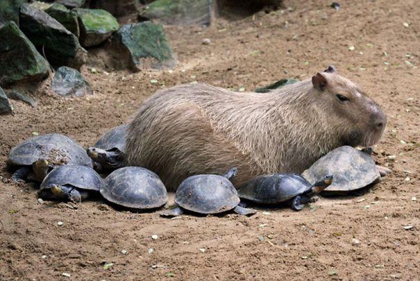 lovely_capybara (14)