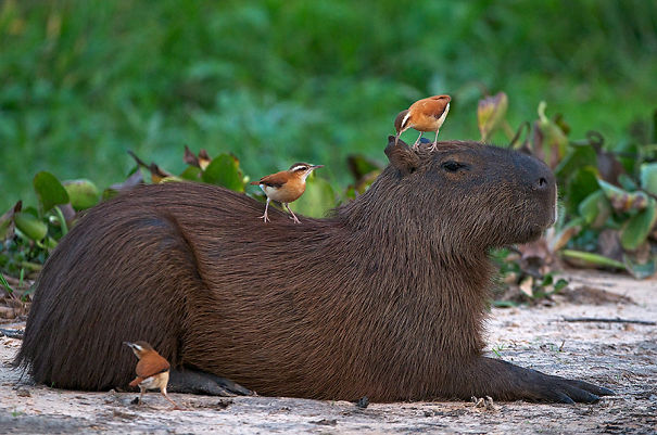 lovely_capybara (4)