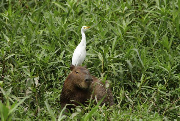 lovely_capybara (8)