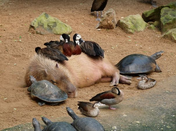 lovely_capybara (9)