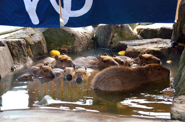 capybara_himejicentrapark6
