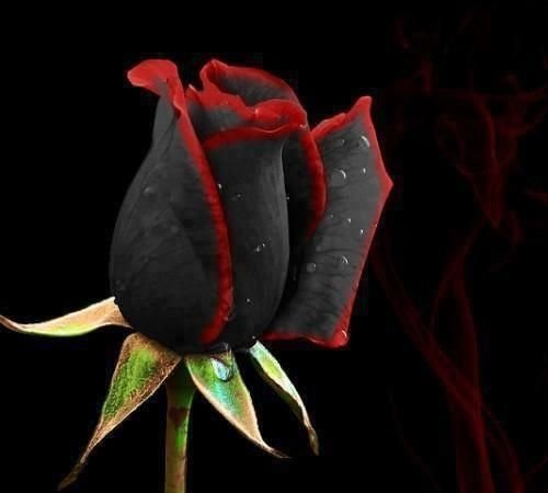 black_rose-1