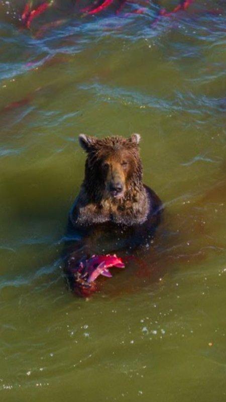 rossia-bear-4